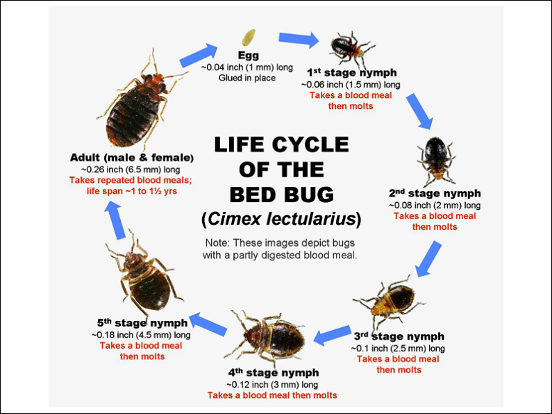 Production and life Cycle of Bed Bugs AwesomePest