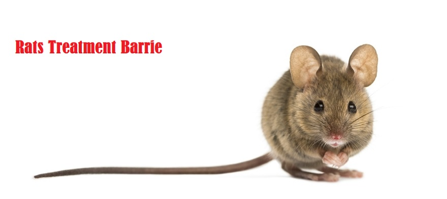 Rats Treatment Barrie Awesomepest