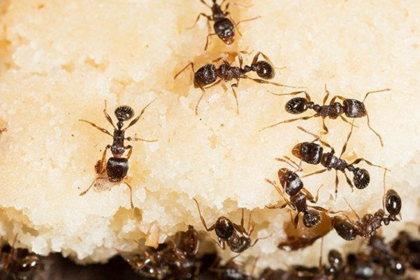Awesomepest Feeding Habits of Pavement Ants know