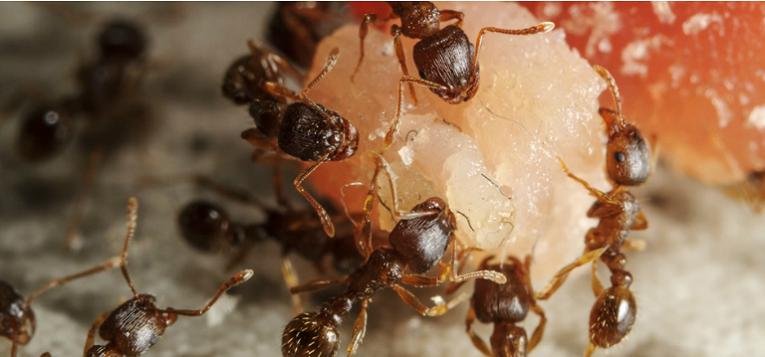 Awesomepest Feeding Habits of Pavement Ants