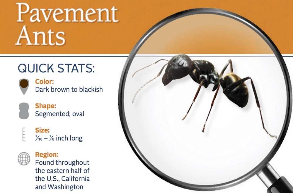 Identifying Pavement Ants Awesomepest