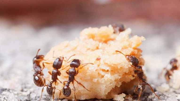 Eating Habits of Pavement Ants Awesomepest