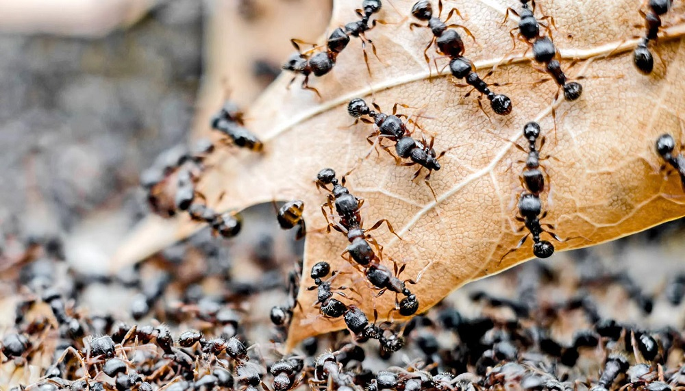 History of Pavement Ants Awesomepest
