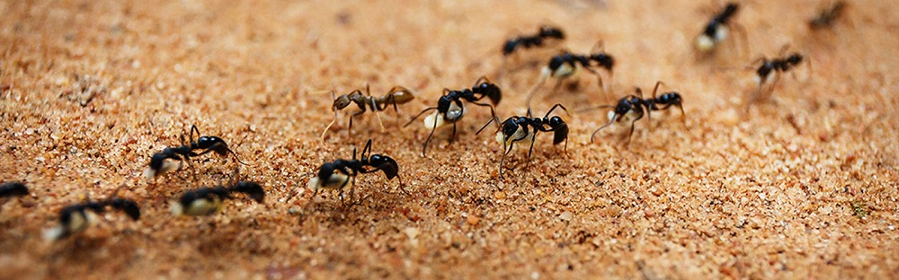 Pavement Ant Infestation remove Pavemet Ants Awesomepest