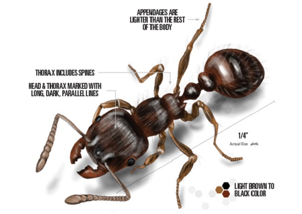 Appearance of Pavement Ants Awesomepest