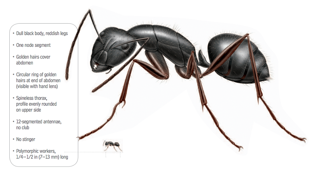 Appearance of Pavement Ants Awesomepest Control