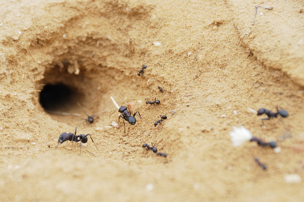 Pavement Ants moving to hole Awesomepest