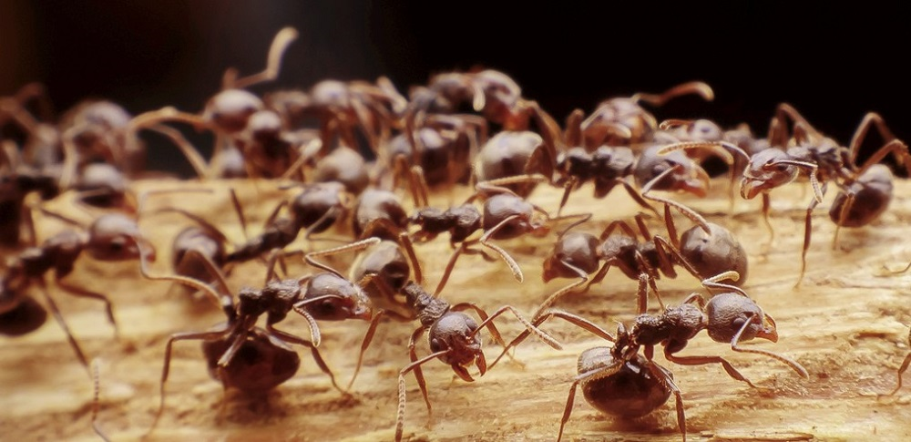 Inspection of Pavement Ants Awesomepest