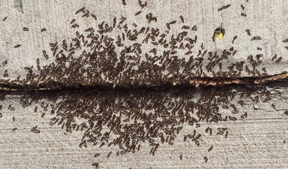 Awesome Pest Control Pavement Ants Control Services