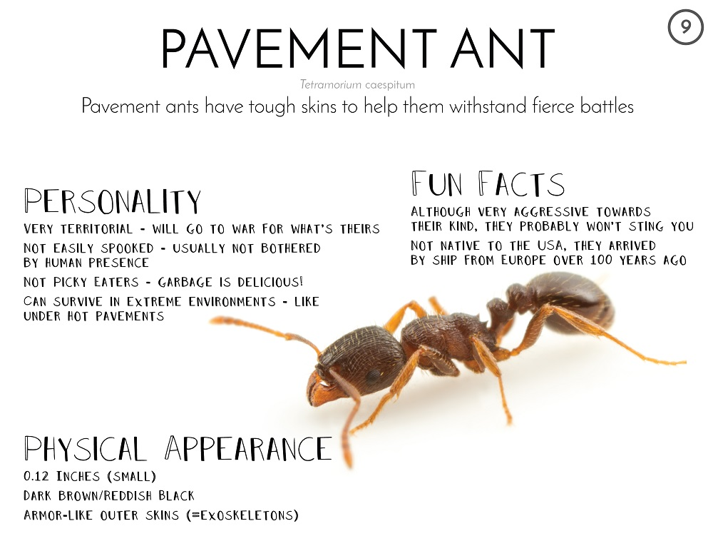Awesomepest Interesting Facts about Pavement Ants
