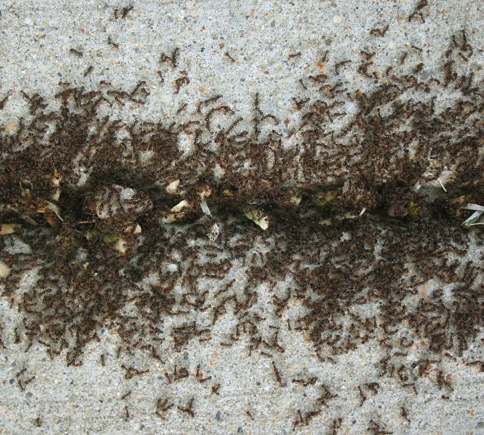 Awesomepest offers Pavement Ants Control Services