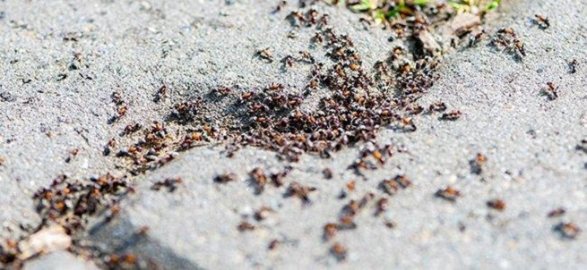 How serious or Dangerous Pavement Ants are Awesomepest