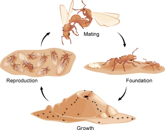 Lifecycles and production of Pavement Ants