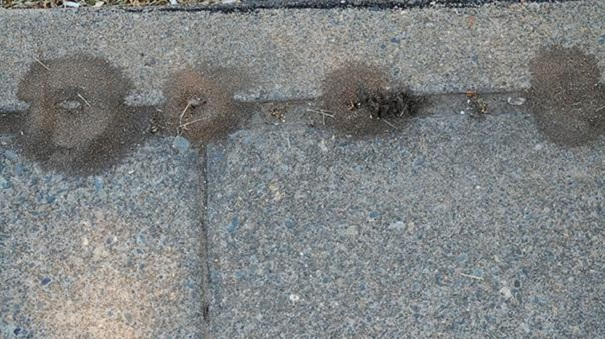 Nesting of Pavement Ants Awesomepest