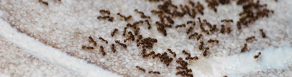 Pavement Ants Control Services by Awesomepest