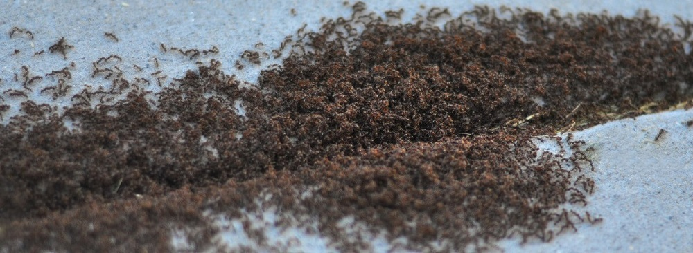 Choose Awesome Pest Control to Control Pavement Ants Awesomepest