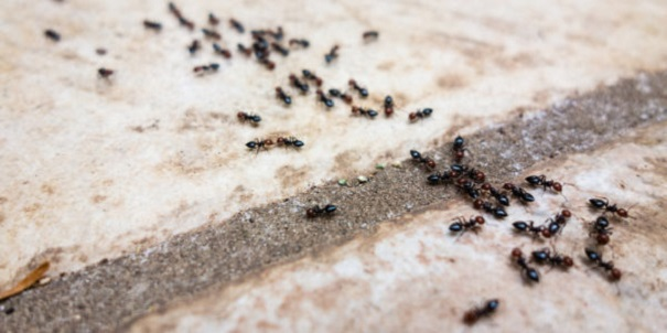 Pavement Ants are dangerous Awesomepest