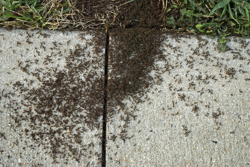 Remove Pavement Ants Infestations Awesomepest