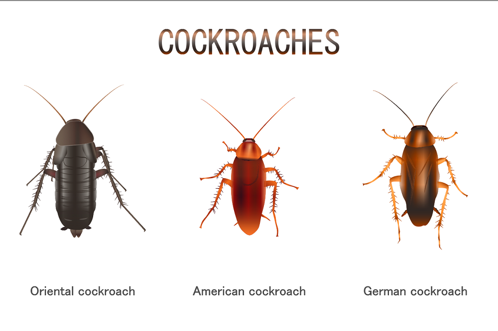 Appearance of Cock Roaches Awesomepest