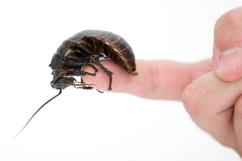Awesomepest Do Cock Roaches bite