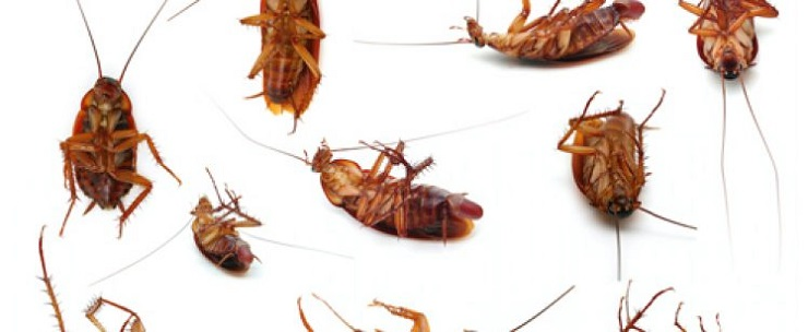 CockRoaches treatment methods by Awesomepest