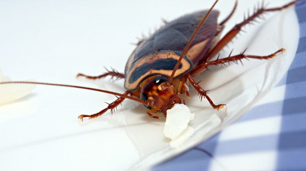 Cockroaches May Bite Awesomepest