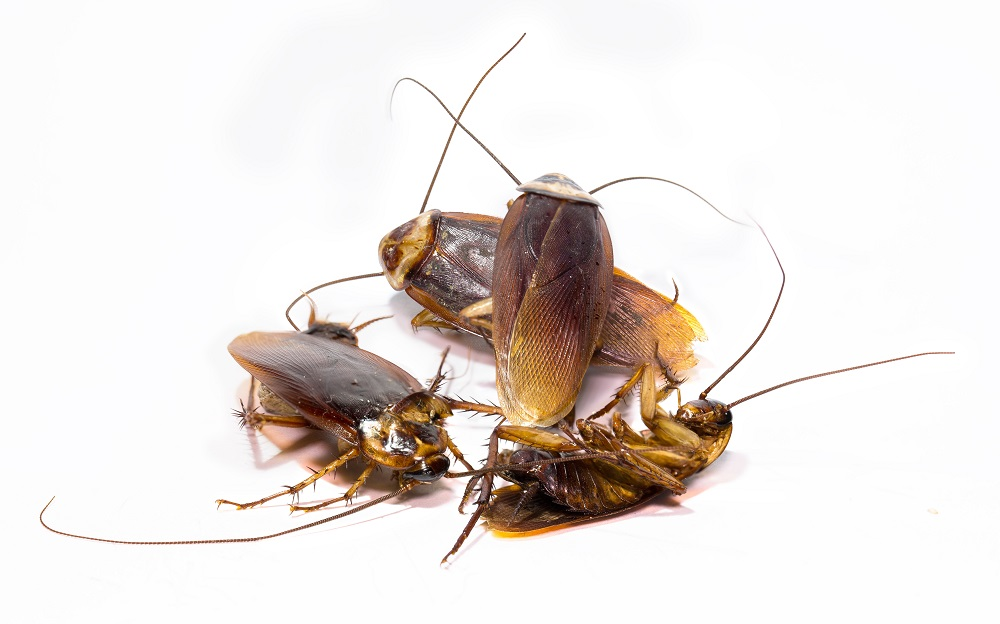 Habits of Cockroaches Awesomepest