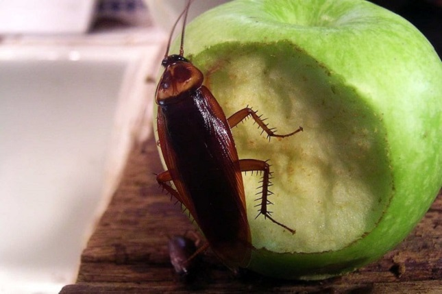 How is CockRoaches Dangerous Awesomepest