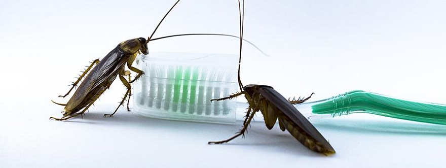 How serious or Dangerous CockRoaches are Awesomepest