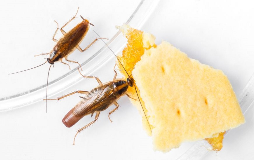 What Do Cockroaches Eat Awesomepest