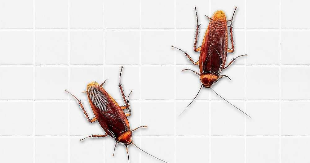 What are Cock Roaches Awesomepest