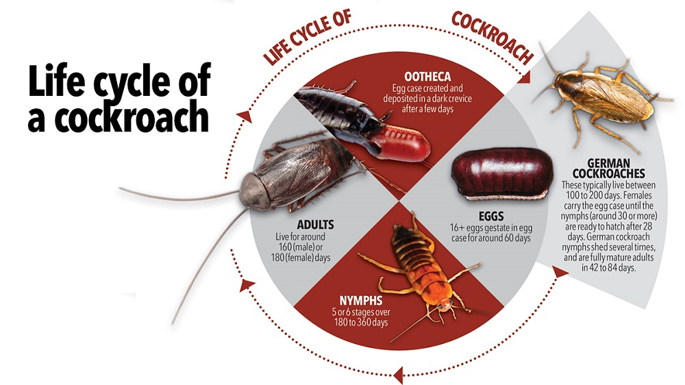 lifecycle cock roaches Awesomepest
