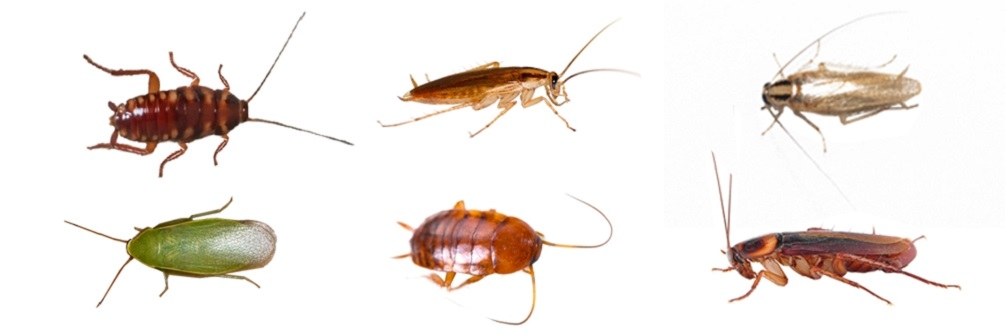 steps for CockRoaches treatment Awesomepest