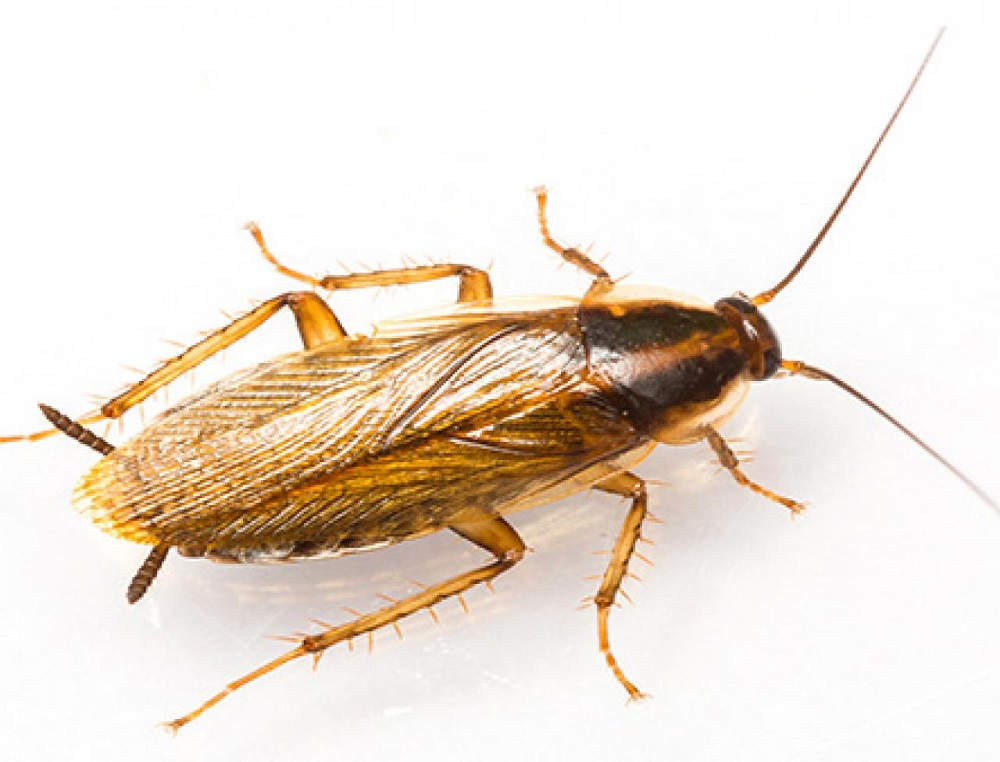 Adult Cockroaches Awesomepest