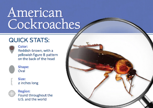 American Cockroach Awesomepest