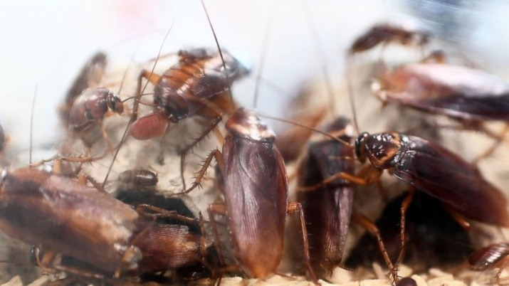 Awesomepest Characteristics of Cockroaches