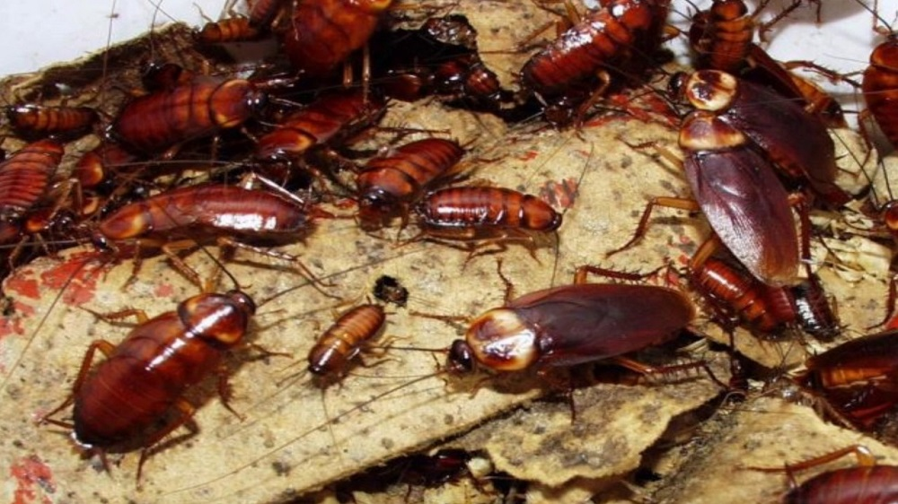 Characteristics of Cockroaches control services Awesomepest