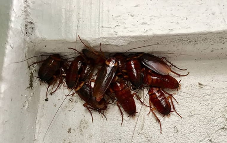 Characteristics of Cockroaches know Awesomepest