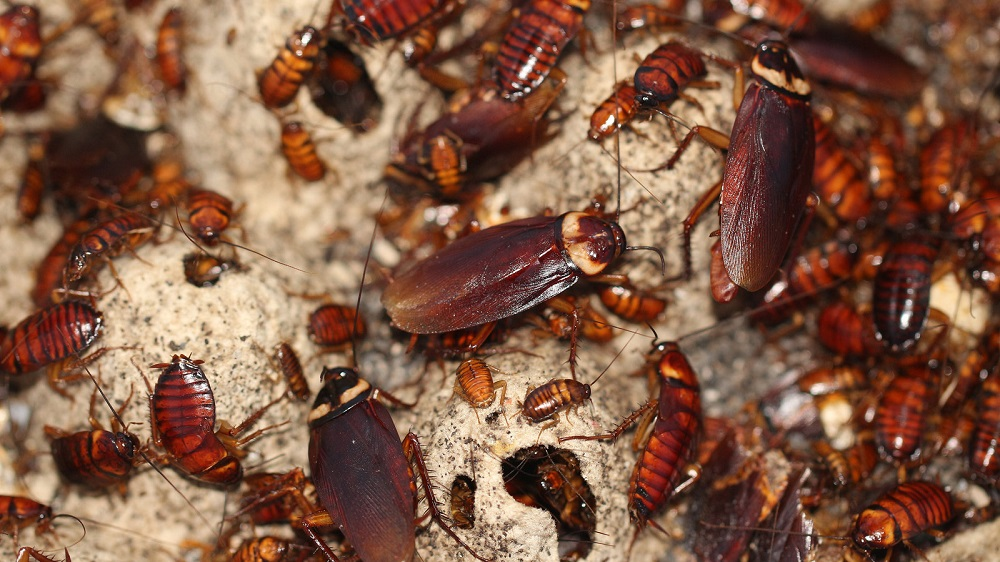 Cockroaches Characteristics at Awesomepest