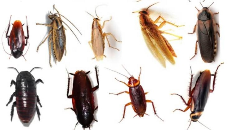 Common Types of Cockroaches Awesomepest