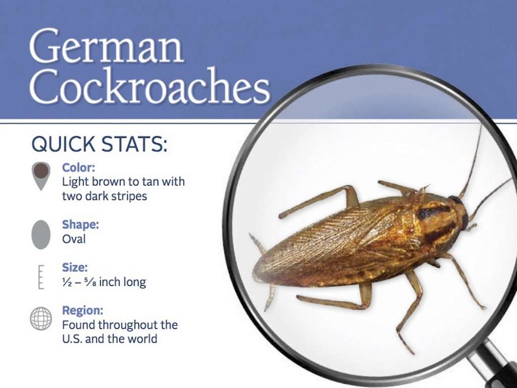 German Cockroach Awesomepest