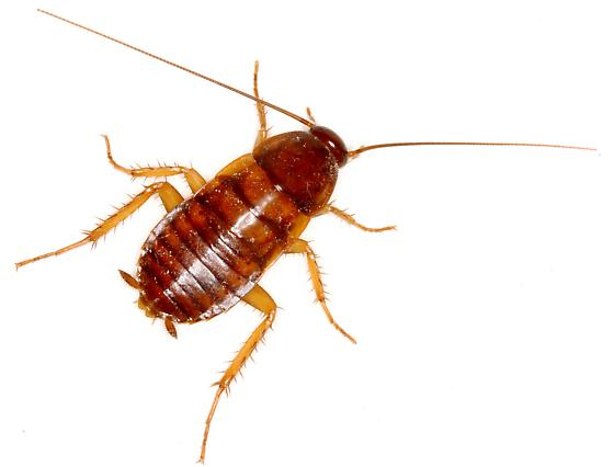 Nymph Cockroaches Awesomepest