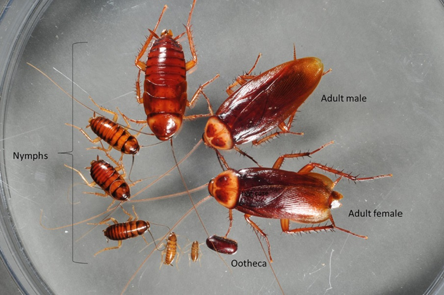Production and life Cycle of CockRoaches Aweomepest