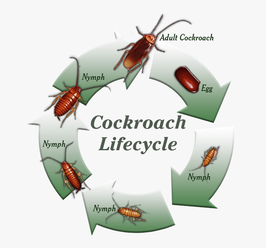 Production and life Cycle of CockRoaches by Aweosmepest
