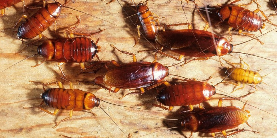 Cockroaches attract to alcohol Awesomepest