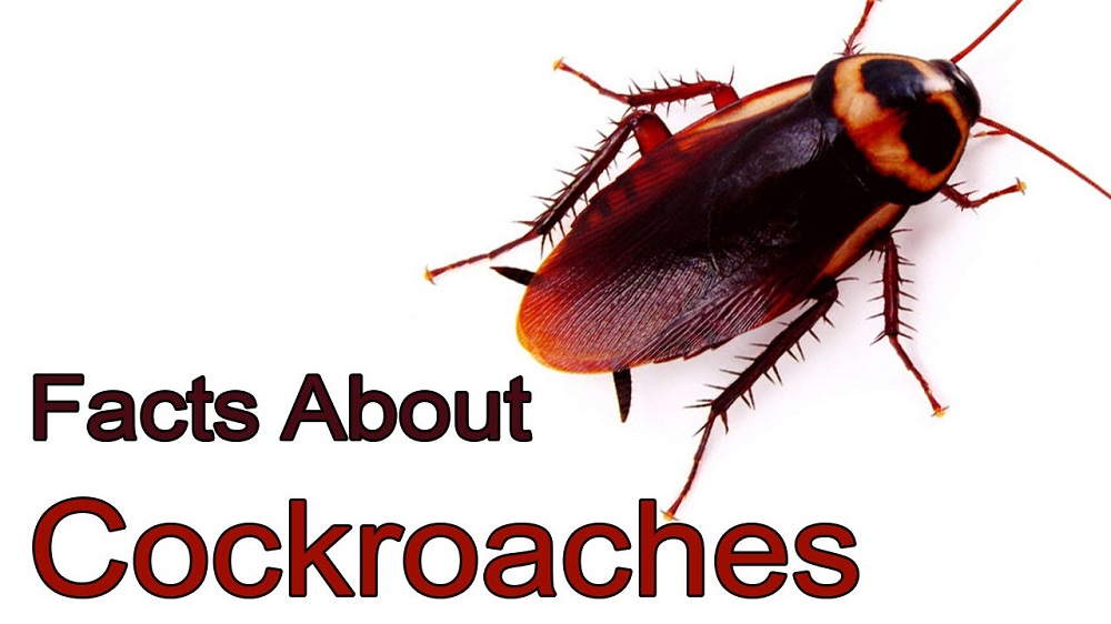 facts about cockroaches Awesomepest