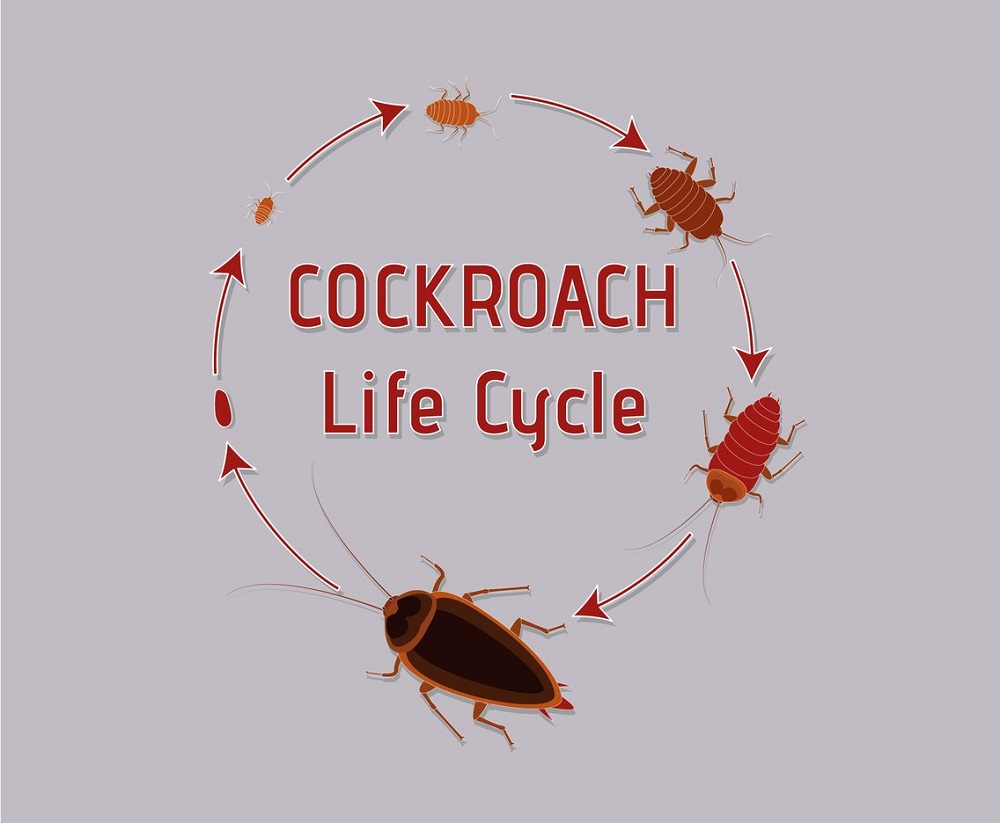 lifespan of cockroaches Awesomepest