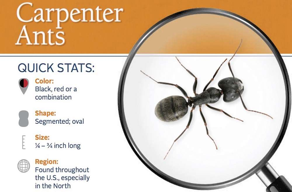 What are Carpenter Ants Awesomepest
