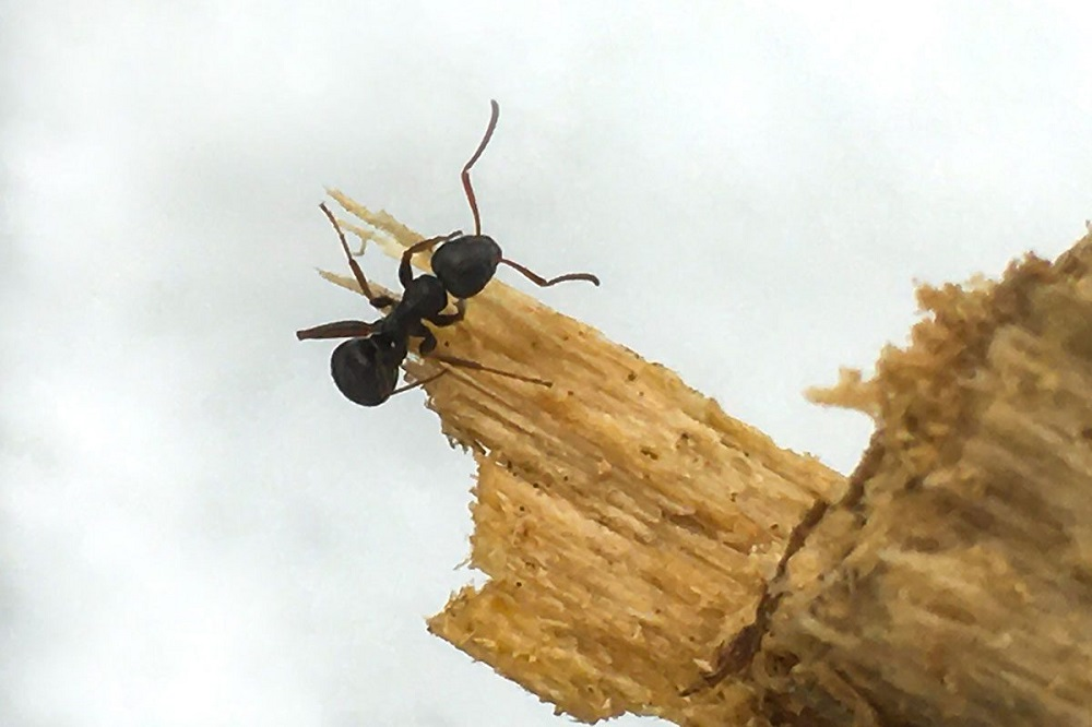 What are carpenter ants Awesomepest Control
