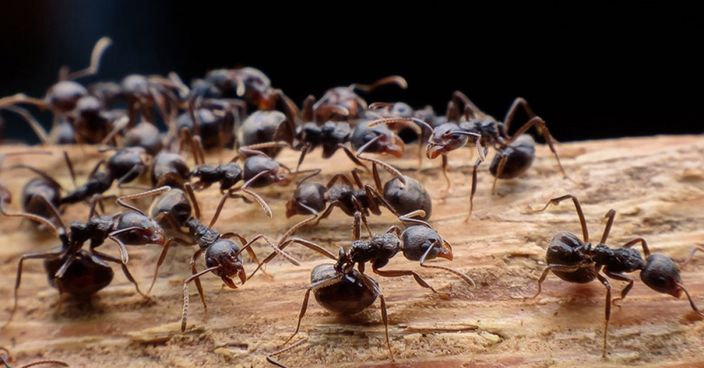 carpenter ants control services Awesomepest